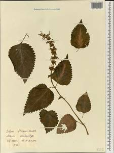 Plectranthus scutellarioides (L.) R.Br., Африка (AFR) (Мали)