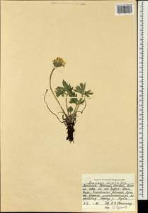 Anemonastrum narcissiflorum subsp. crinitum (Juz.) Raus, Монголия (MONG) (Монголия)