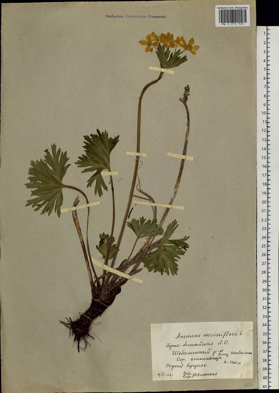 Anemonastrum narcissiflorum subsp. crinitum (Juz.) Raus, Сибирь, Алтай и Саяны (S2) (Россия)