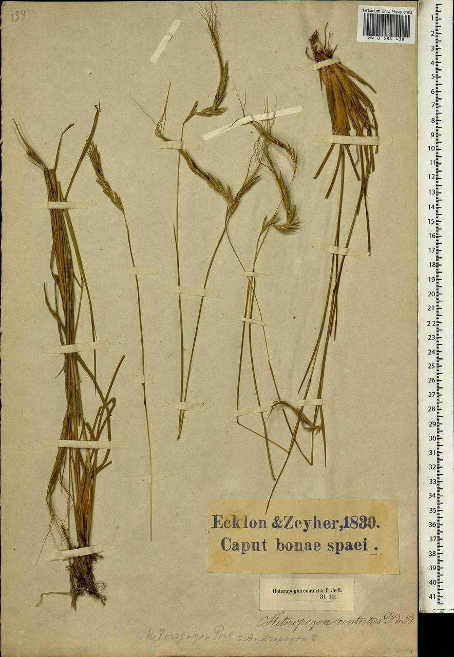 Heteropogon contortus (L.) P.Beauv. ex Roem. & Schult., Африка (AFR) (ЮАР)