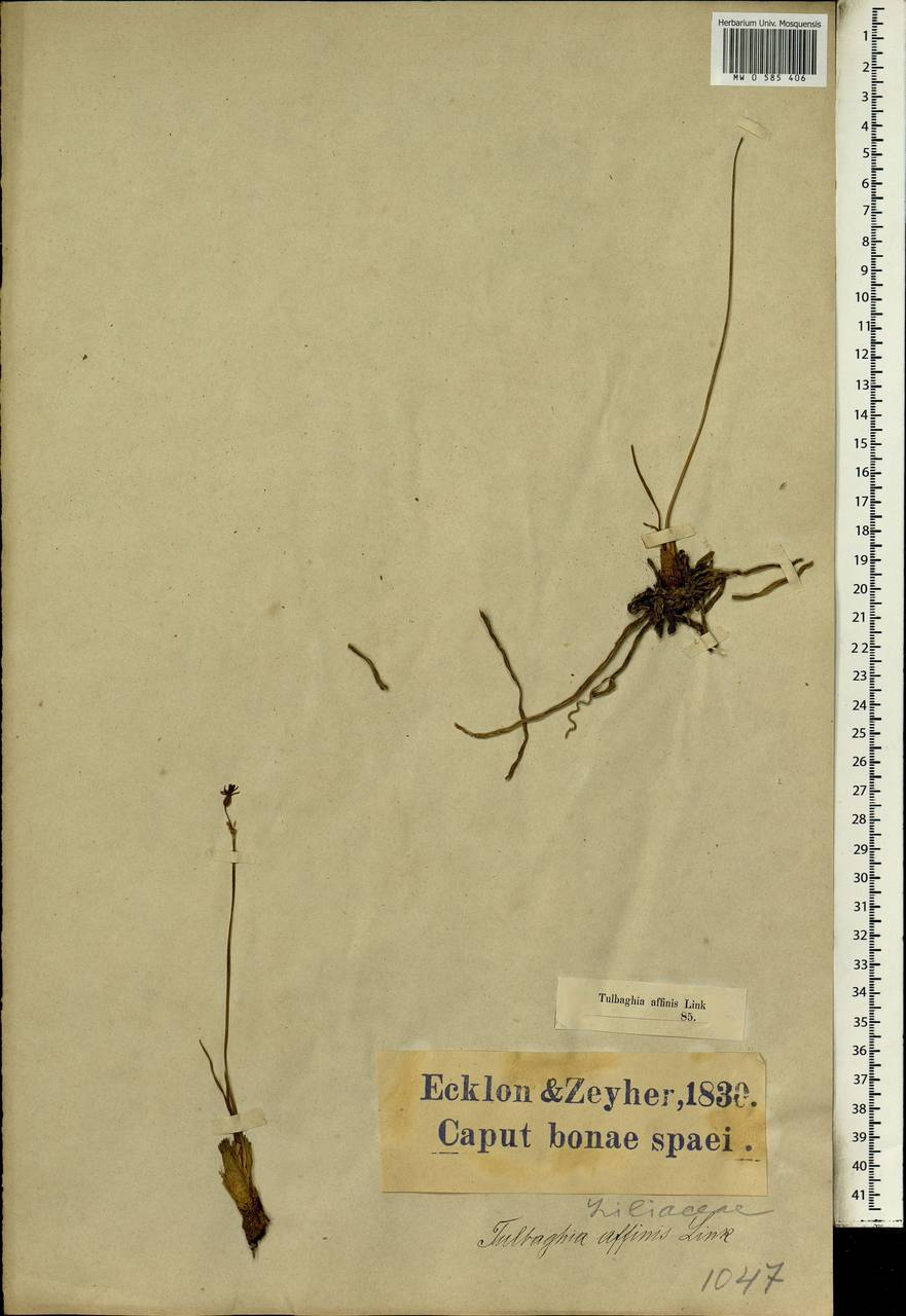 Tulbaghia alliacea L.f., Африка (AFR) (ЮАР)