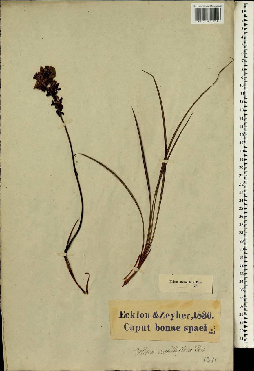 Gladiolus orchidiflorus Andrews, Африка (AFR) (ЮАР)