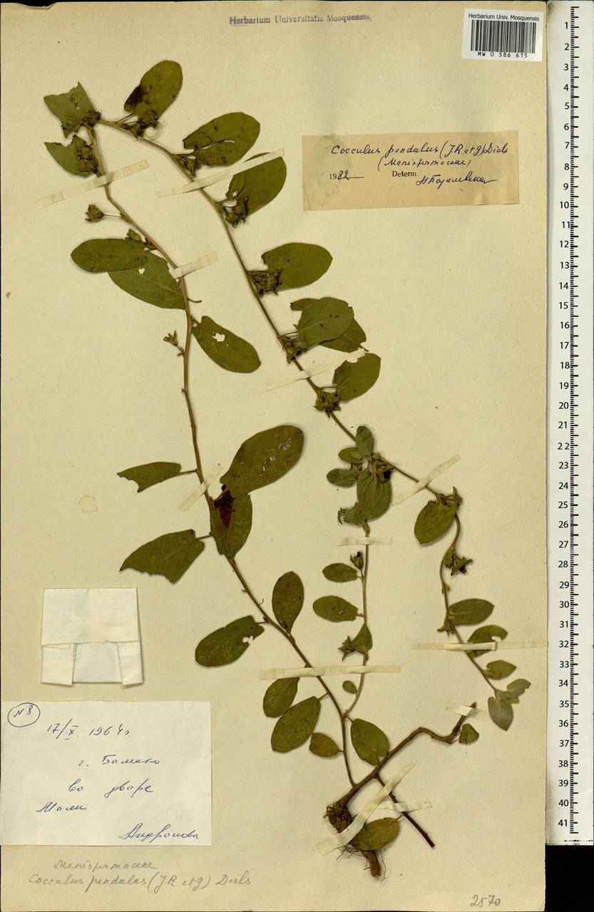 Cocculus pendulus (J. R. Forst. & G. Forst.) Diels, Африка (AFR) (Мали)