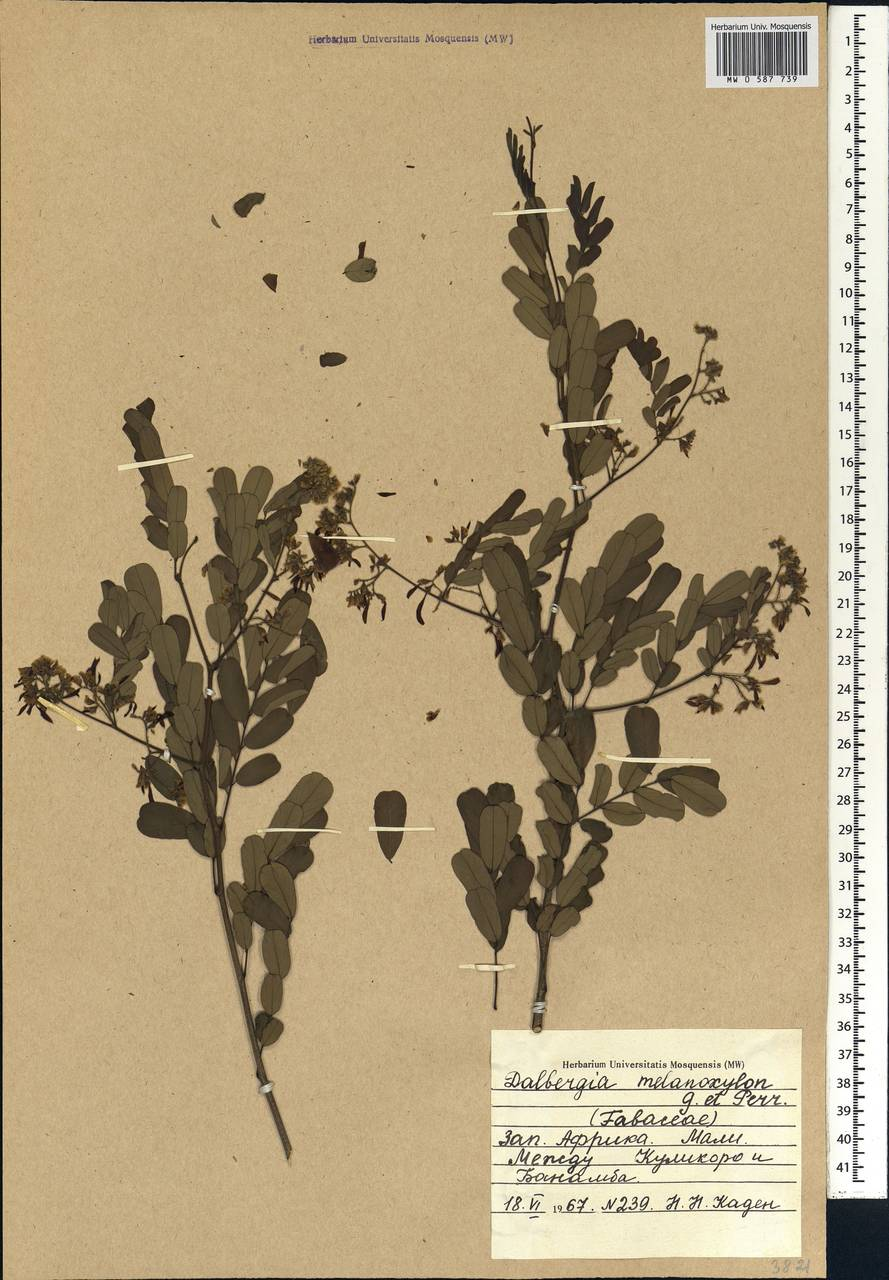 Dalbergia melanoxylon Guill. & Perr., Африка (AFR) (Мали)