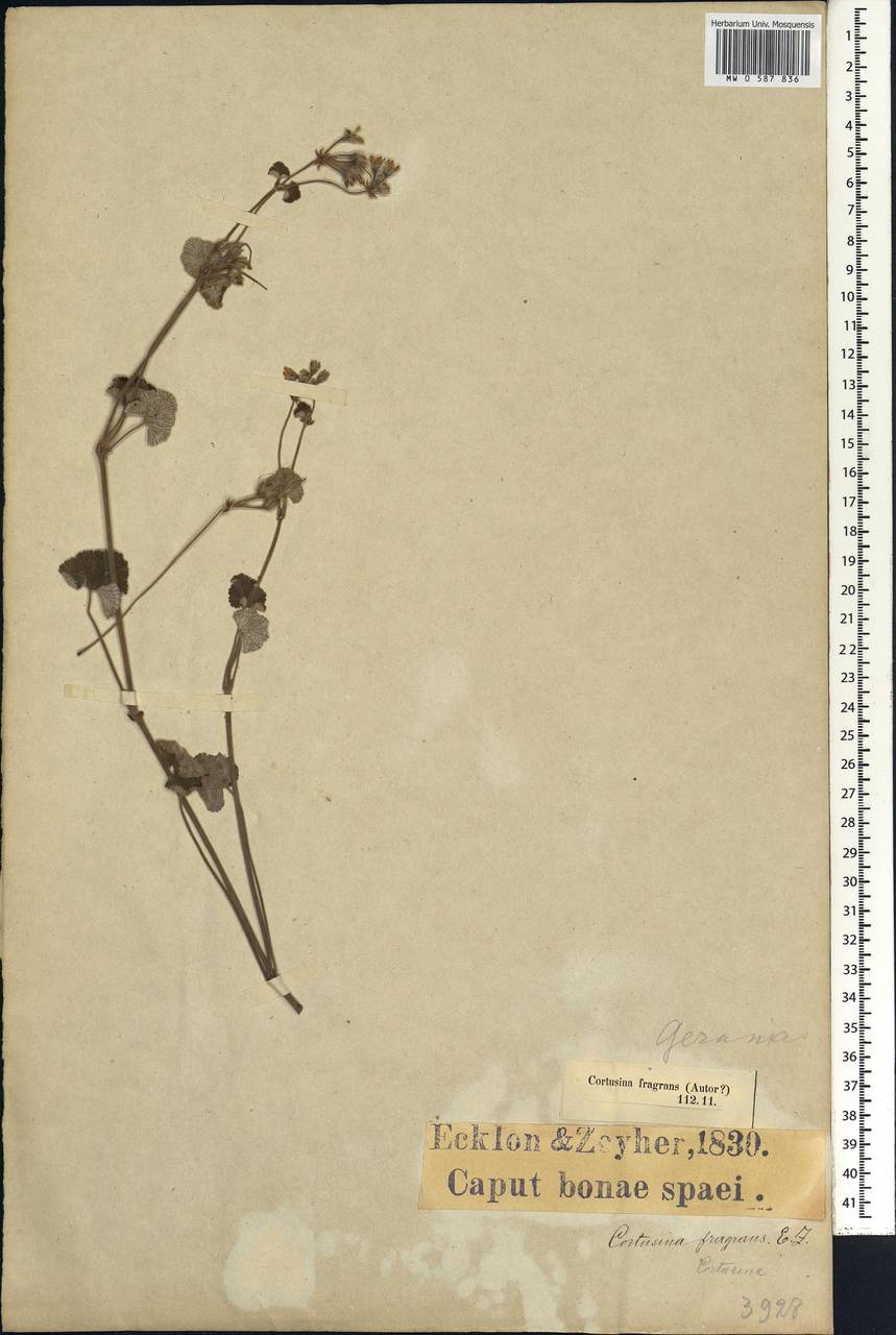 Pelargonium fragrans Willd., Африка (AFR) (ЮАР)