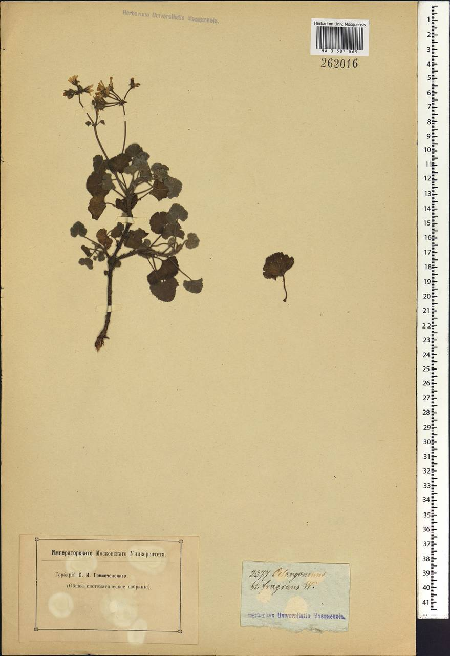 Pelargonium fragrans Willd., Африка (AFR) (Неизвестно)