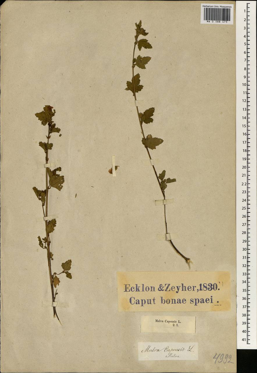 Anisodontea capensis (L.) D.M. Bates, Африка (AFR) (ЮАР)