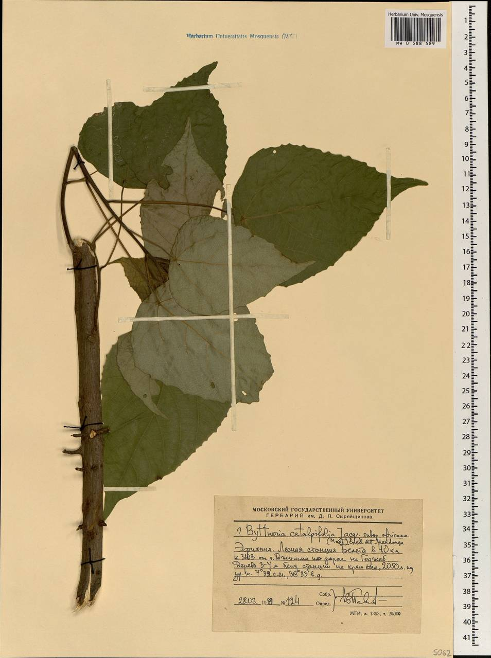 Byttneria catalpifolia subsp. africana (Mast.) Exell & Mend., Африка (AFR) (Эфиопия)