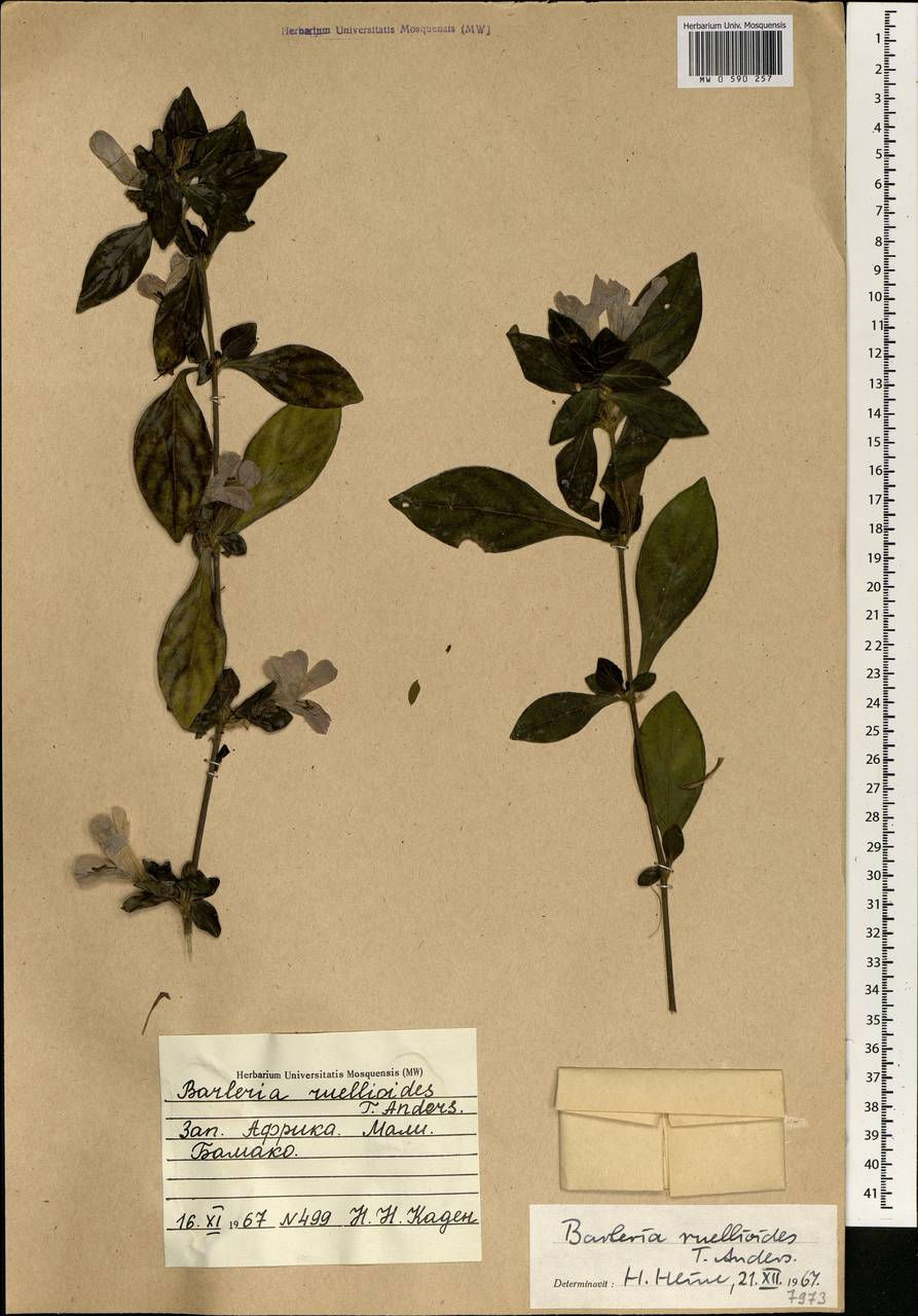 Barleria ruellioides T. Anders., Африка (AFR) (Мали)
